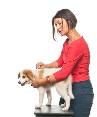 Mettre une pipette antipuces pour chien