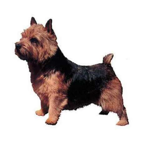 Autocollants Terrier de Norwich - 14 cm - Lot de 2 de marque :